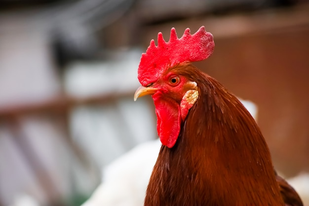A red rooster walks around the yard where the chickens graze