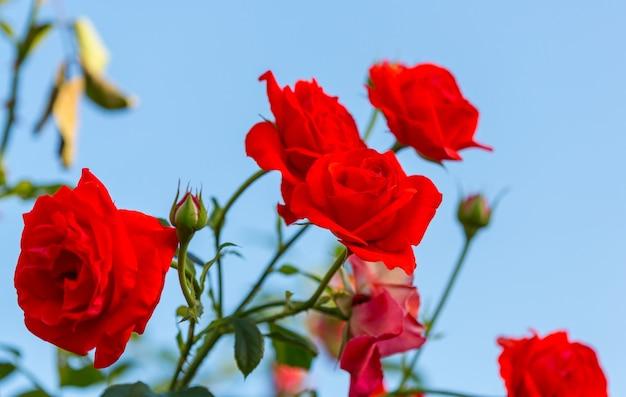 Красная роза, красивая природа