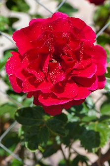 Red rose blooming on a fence
