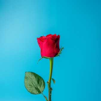 Red rose on blue background.
