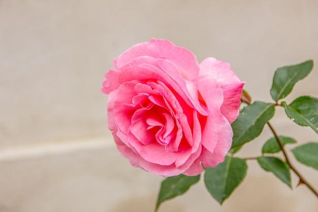 Red rose brazilian