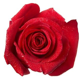 白い背景で隔離の赤いバラのつぼみマクロ