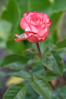 ぼやけた灰色の背景に葉を持つ長い茎の赤いバラのつぼみ。浅い被写界深度