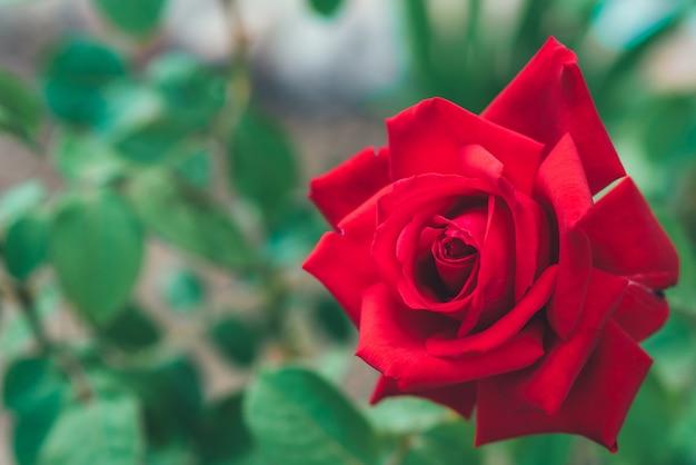 庭で育つ赤いバラのつぼみ。