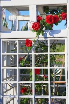 Куст красной розы в саду заделывают летом.