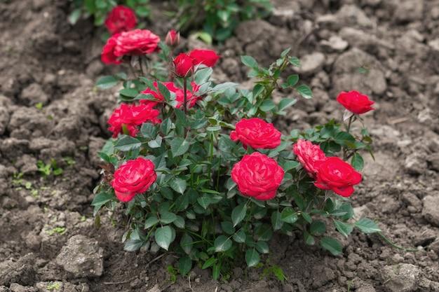 Кусты красных роз в саду