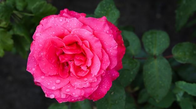 Красная роза крупным планом после дождя.