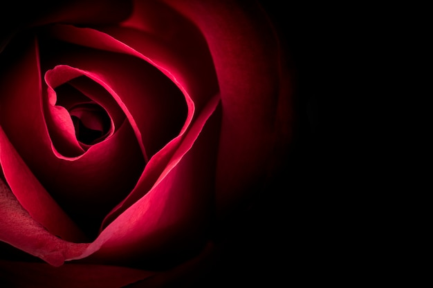 Red rose in the dark background.