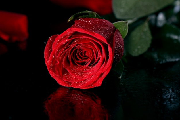 Red rose in darkness