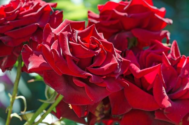 赤いバラの花の背景。庭の茂みに赤いバラ。赤いバラの花。赤いバラの枢機卿