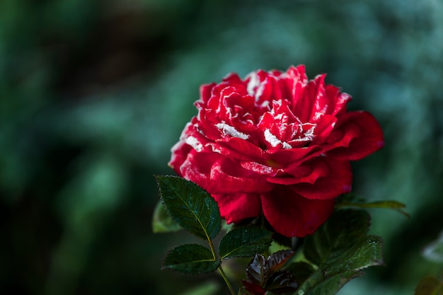 Red rose flower blooming in roses garden on background