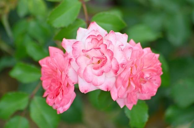 赤いバラの花のクローズアップ。ローザ「ダブルディライト」