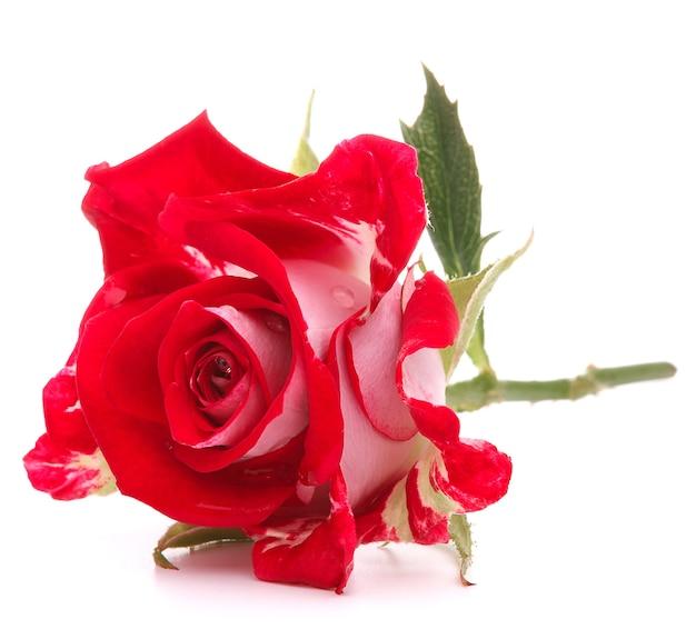 Красная роза цветочная голова изолирована на белом фоне вырез