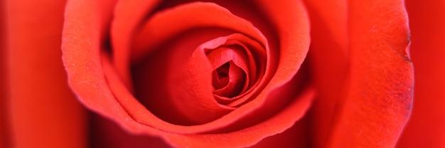 満開の赤いバラの花がズームインしました。バラの花びらがクローズアップ。バナー