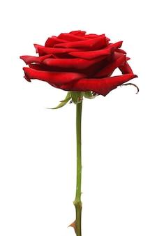 Цветок красной розы, изолированные на белом фоне