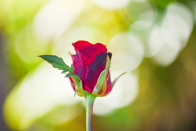 Red rose flower valentines day nature background for lover concept - bud rose fresh