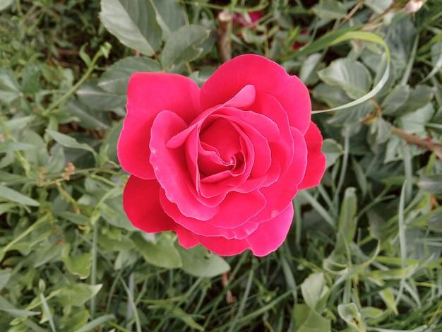 Цветок красной розы с каплями дождя на поверхности цветы розовых роз