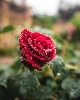 물 방울과 빨간 장미 꽃