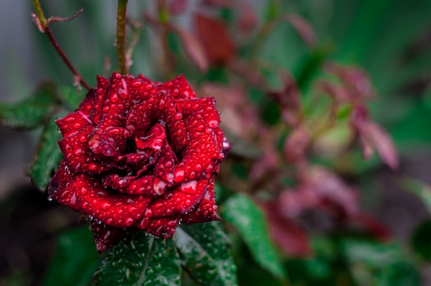 Red rose on a of green foliage