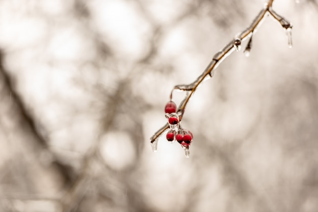 Red rose hip berries and tree branches covered with ice