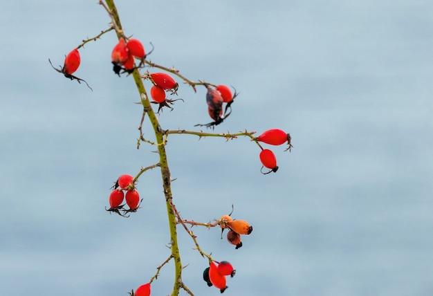 Красные плоды шиповника на фоне реки осенью