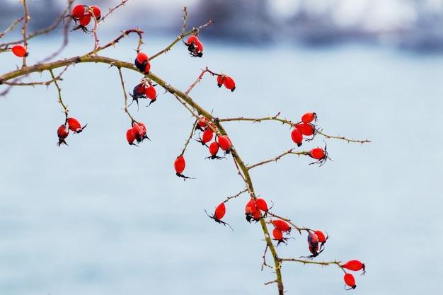 秋の川を背景に赤いローズヒップ
