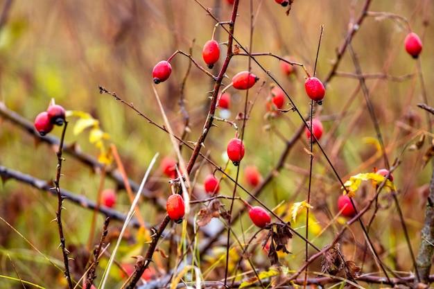 Красные плоды шиповника на кусте среди кустарников