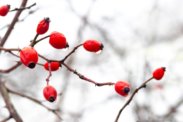 秋または冬の雨の後の茂みの赤いローズヒップ