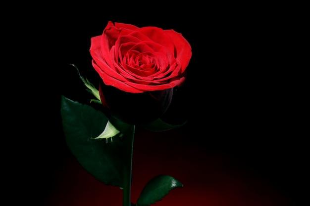 暗闇の中で赤いバラ