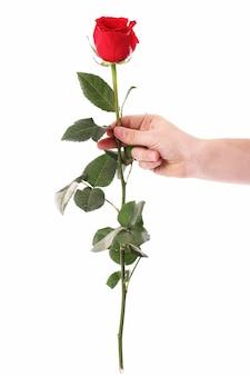 Красная роза в руках