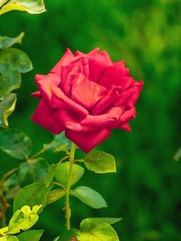 ぼやけて背景が緑色の庭の赤いバラ