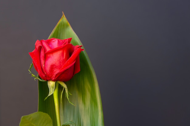 Red rose isolated from black background, with space for copy