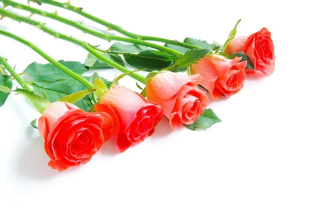 흰색 배경에 고립 된 빨간 장미