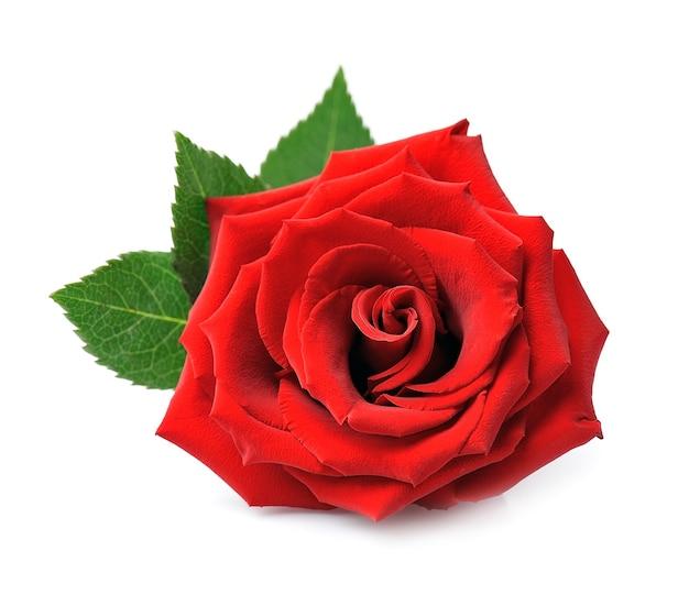 Красная роза, изолированные на белом фоне.
