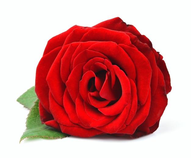 白で隔離された赤いバラ