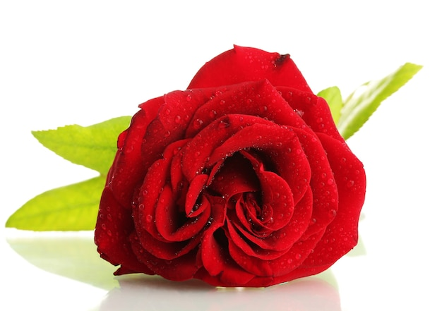 白い上に分離された赤いバラ