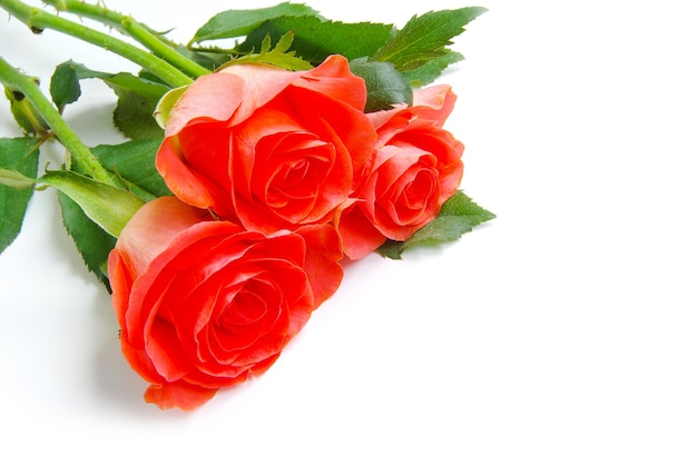 고립 된 빨간 장미