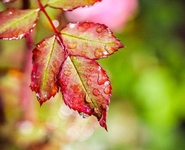 Лист красной розы с каплями дождя в осеннем саду боке с отражением света