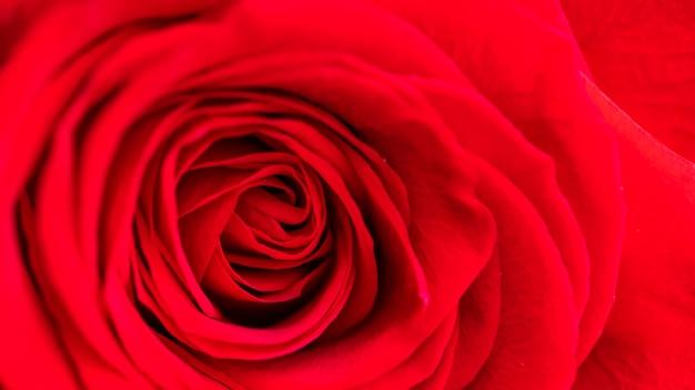 Red rose. macro view.