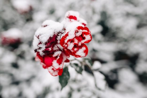 冬の公園で雪に覆われた茂みに赤いバラ。白い雪の層の下に濃い赤のバラの花の緑の茂み。
