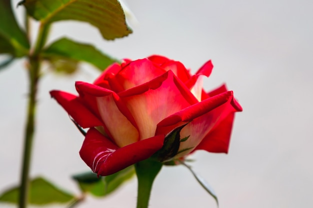 明るい背景に赤いバラ。春と夏の花