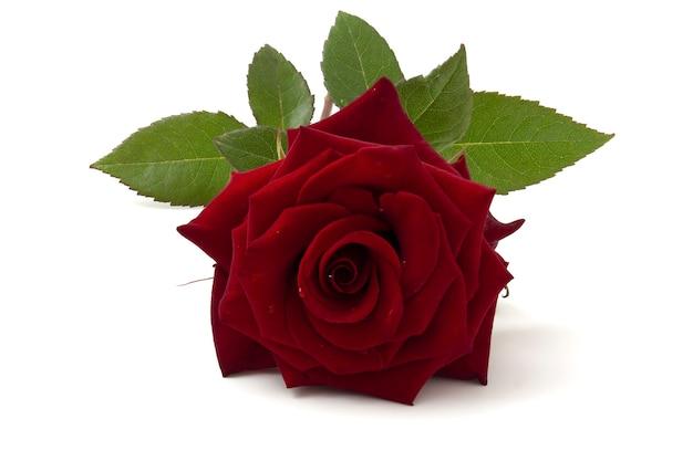 Красная роза на белом фоне с зелеными листьями