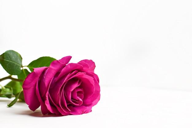 白い背景に赤いバラ。