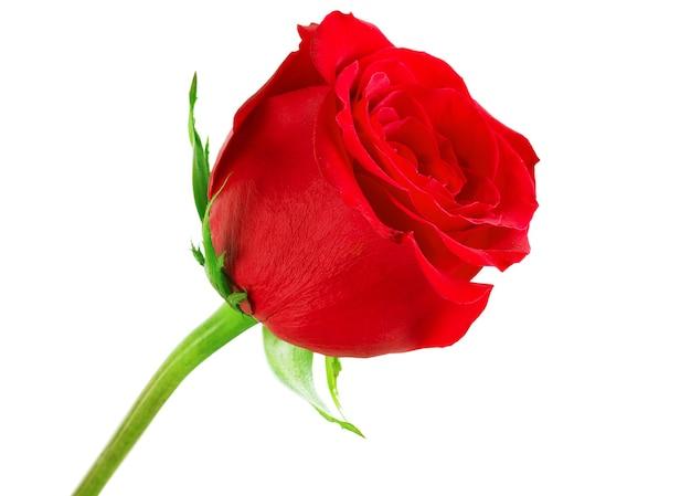 白い背景の上の赤いバラ