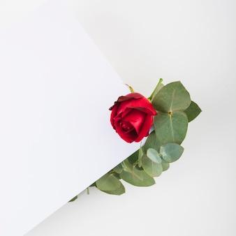 Красная роза на пустой бумаге на белом фоне