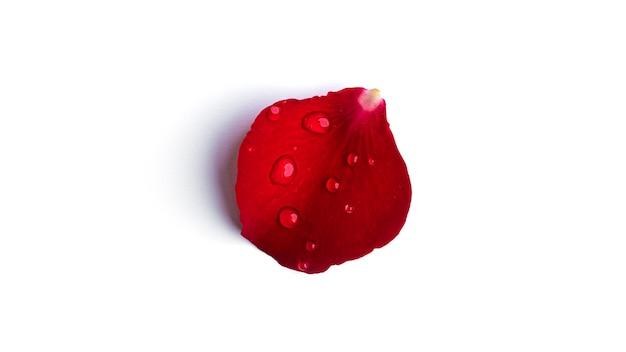 흰색 표면에 절연 물 방울과 빨간 장미 꽃잎