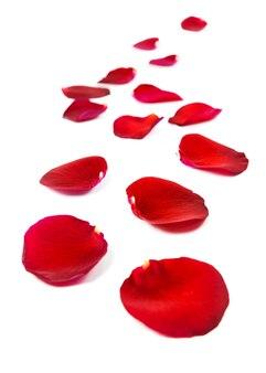 Лепестки красной розы, изолированные на белом фоне