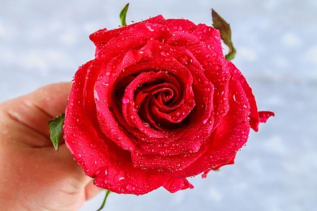 비가와 빨간 장미 꽃잎 상품 근접 촬영. 붉은 장미.