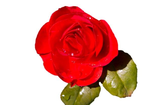 雨滴のクローズアップと赤いバラの花びら。赤いバラ、白い背景で隔離