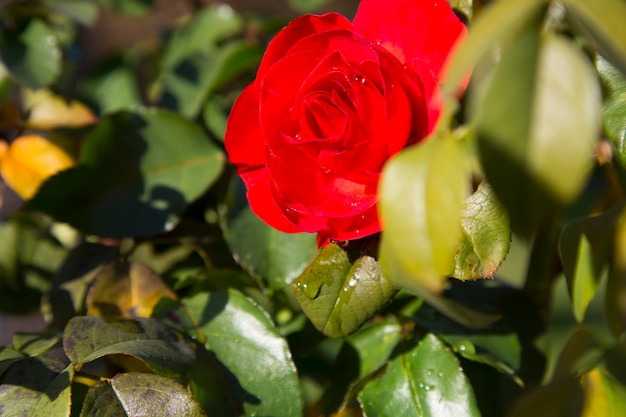 雨滴のクローズアップと赤いバラの花びら。庭の枝に赤いバラ